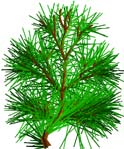 Pine FirTree